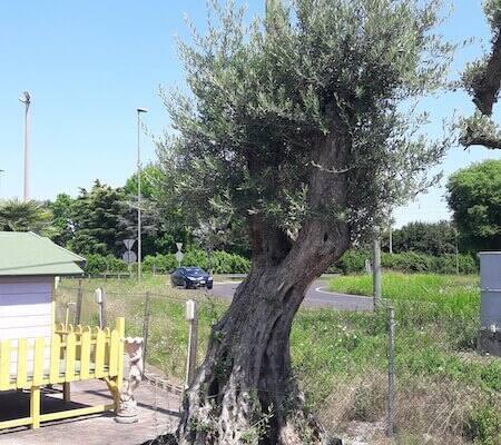 ulivo_giardino_albero
