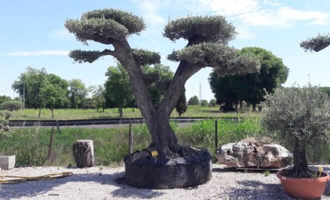 ulivo_biramo_giardino