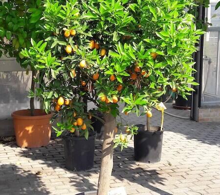 albero_mandarino_cinese