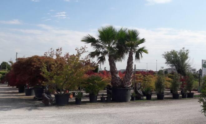 palme_vivaio_alberi
